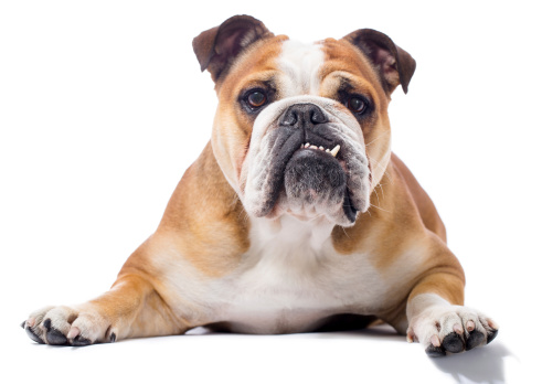 Brown Hair「Portrait of a English Bulldog」:スマホ壁紙(1)