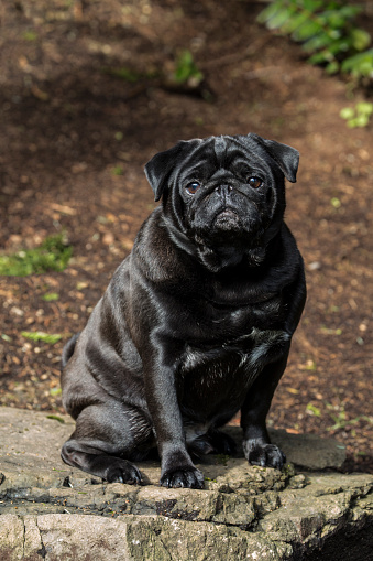 Redmond - Washington State「Portrait of black Pug (Canis Familiaris), Redmond, Washington State, USA」:スマホ壁紙(2)