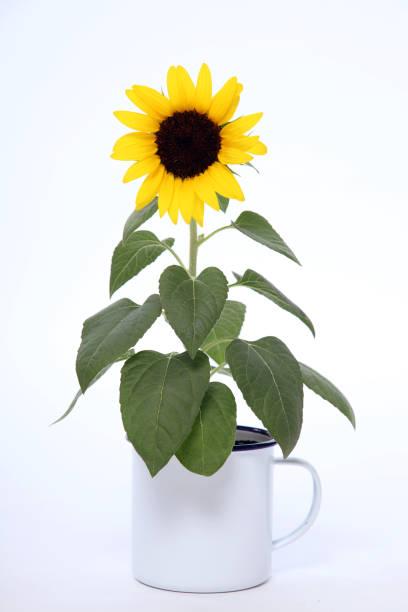 portrait of sunflower:スマホ壁紙(壁紙.com)
