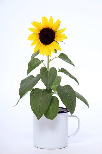 ひまわり「portrait of sunflower」:スマホ壁紙(12)