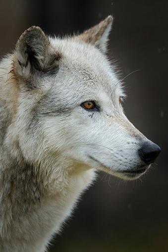 狼「Portrait of Gray Wolf (Canis lupus), West Yellowstone, Montana, USA」:スマホ壁紙(8)