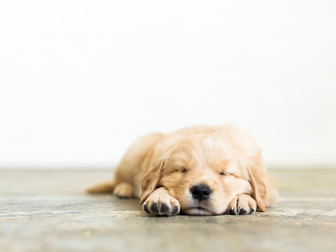 Utah「Portrait of puppy sleeping on wooden floor」:スマホ壁紙(2)