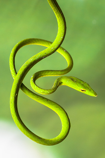 Green Background「Portrait of a coiled tree snake, Indonesia」:スマホ壁紙(18)