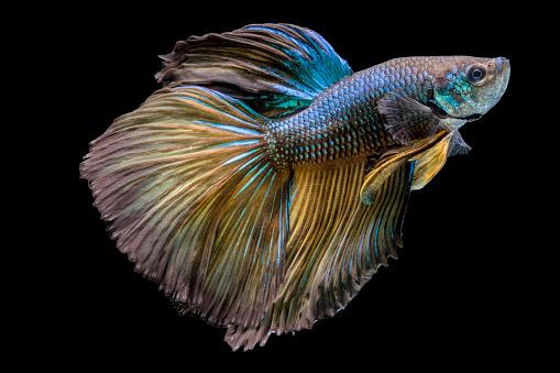 Siamese Fighting Fish「Portrait of a betta fish」:スマホ壁紙(17)