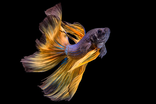 Siamese Fighting Fish「Portrait of a Betta fish」:スマホ壁紙(6)