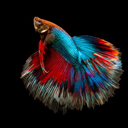 Siamese Fighting Fish「Portrait of a betta fish」:スマホ壁紙(13)