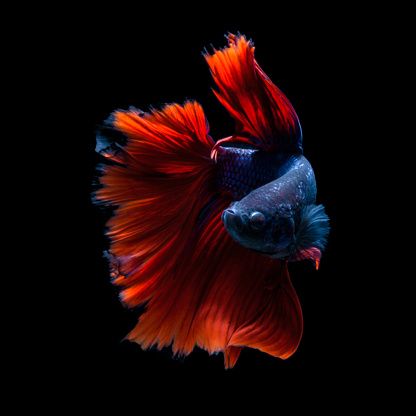 Tropical fish「Portrait of a betta fish」:スマホ壁紙(9)