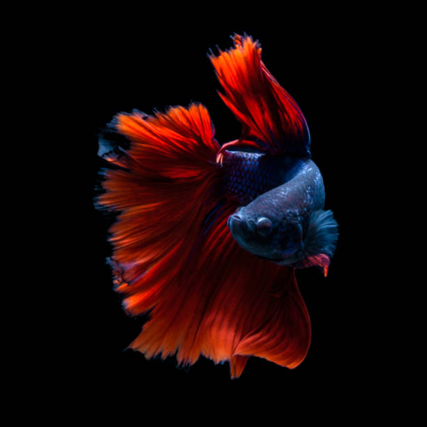 Portrait of a betta fish:スマホ壁紙(壁紙.com)