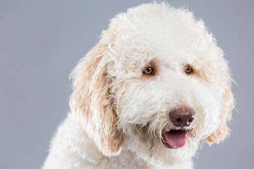 White Color「美しい白いふわふわ犬の肖像画」:スマホ壁紙(16)