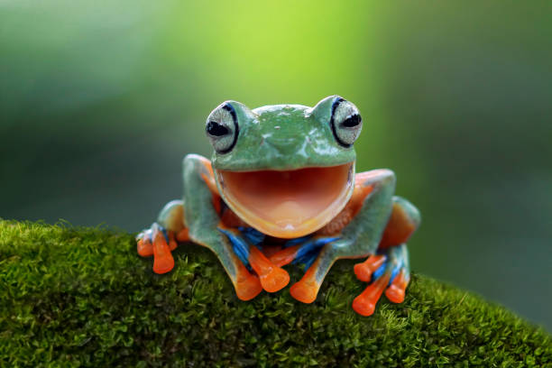 Portrait of a Javan tree frog:スマホ壁紙(壁紙.com)