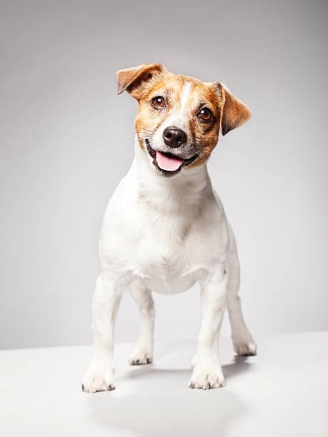 Portrait of a Jack Russel Terrier:スマホ壁紙(壁紙.com)