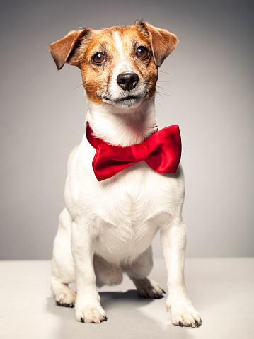 Bow Tie「Portrait of a Jack Russel Terrier」:スマホ壁紙(14)