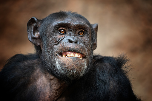 Laughing「Portrait of a common chimpanzee」:スマホ壁紙(1)