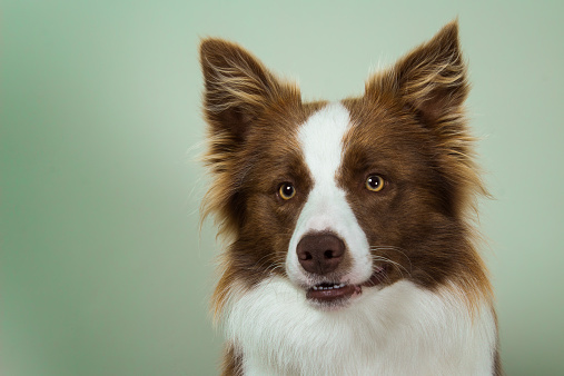 Alertness「Portrait of border collie dog」:スマホ壁紙(17)