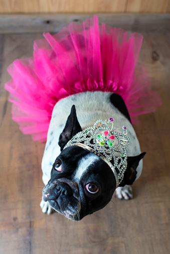 Princess「Portrait of French Bulldog dressed up as princess」:スマホ壁紙(18)