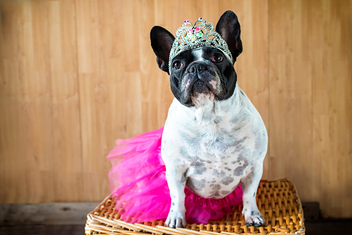 Princess「Portrait of French Bulldog dressed up as princess」:スマホ壁紙(11)