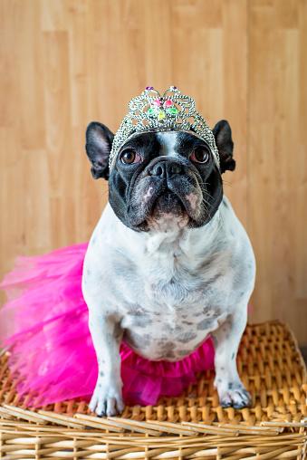 Princess「Portrait of French Bulldog dressed up as princess」:スマホ壁紙(14)