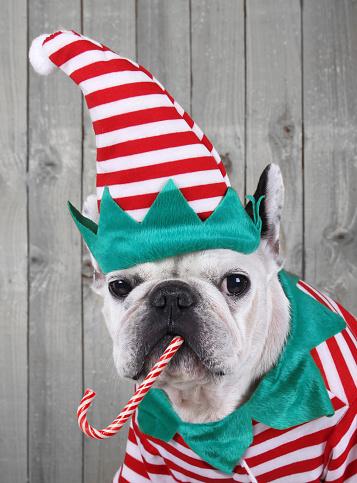 Candy Cane「Portrait of French bulldog dressed up as Christmas elf」:スマホ壁紙(18)