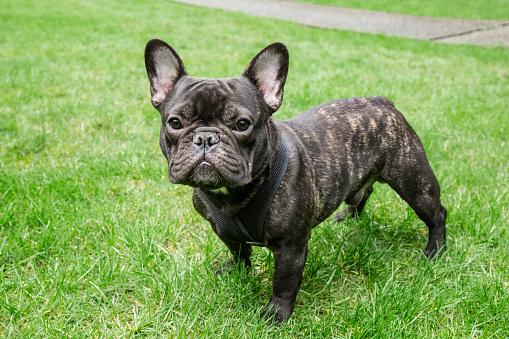 Redmond - Washington State「Portrait of French Bulldog, Redmond, Washington State, USA」:スマホ壁紙(3)