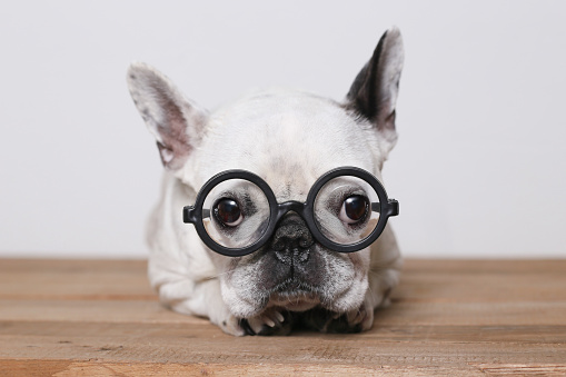 Animal Themes「Portrait of French Bulldog wearing glasses」:スマホ壁紙(3)