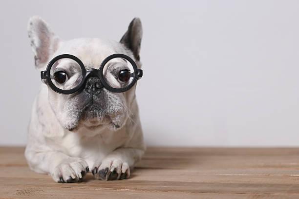 Portrait of French Bulldog wearing glasses:スマホ壁紙(壁紙.com)