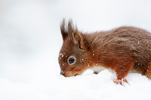 キタリス「Portrait of seeking Eurasian red squirrel in snow」:スマホ壁紙(5)
