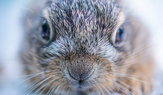 うさぎ「Portrait of European hare - Liebre europea (Lepus europaeus), also known as the brown hare, Navarra, Spain, Europe」:スマホ壁紙(2)