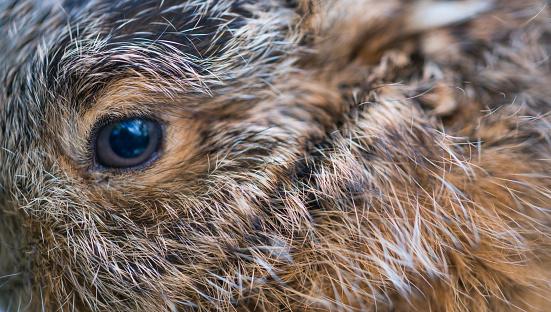 うさぎ「Portrait of European hare - Liebre europea (Lepus europaeus), also known as the brown hare, Navarra, Spain, Europe」:スマホ壁紙(12)