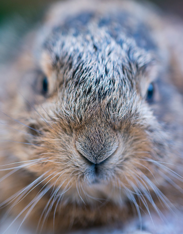 うさぎ「Portrait of European hare - Liebre europea (Lepus europaeus), also known as the brown hare, Navarra, Spain, Europe」:スマホ壁紙(4)