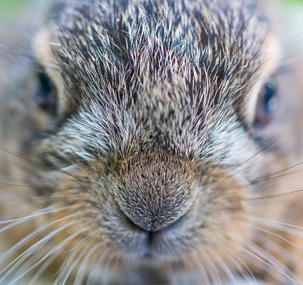 うさぎ「Portrait of European hare - Liebre europea (Lepus europaeus), also known as the brown hare, Navarra, Spain, Europe」:スマホ壁紙(19)