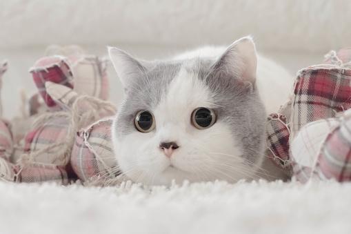 ショートヘア種の猫「Portrait of a cute cat」:スマホ壁紙(16)