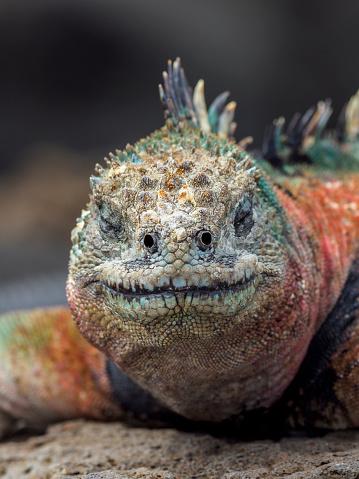 Dragon「Portrait Of Galapagos Marine Iguana」:スマホ壁紙(19)