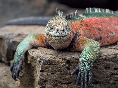 Dragon「Portrait Of Galapagos Marine Iguana」:スマホ壁紙(15)