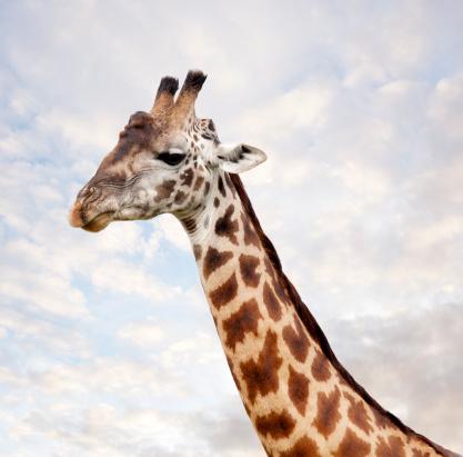 Giraffe「Portrait of Giraffe, Serenget in National Park」:スマホ壁紙(2)