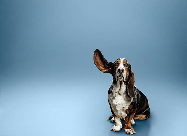Portrait of dog with one ear lifted:スマホ壁紙(壁紙.com)