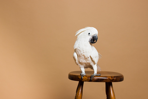 Parrot「Portrait of a white crested cockatoo」:スマホ壁紙(7)