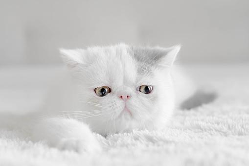 Kitten「Portrait of an Exotic shorthair kitten」:スマホ壁紙(9)