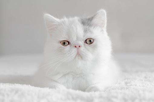 Kitten「Portrait of an Exotic shorthair kitten」:スマホ壁紙(10)
