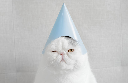 Purebred Cat「Portrait of an Exotic shorthair cat wearing a party hat」:スマホ壁紙(16)