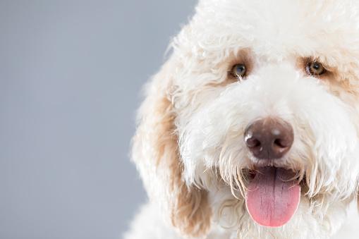 White Color「愛らしい白い犬の肖像画」:スマホ壁紙(18)