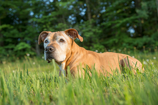 犬「Portrait of Staffordshire Bull Terrier Dog Outdoors」:スマホ壁紙(2)