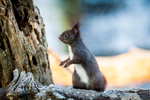 リス「Portrait of alert squirrel on log」:スマホ壁紙(9)