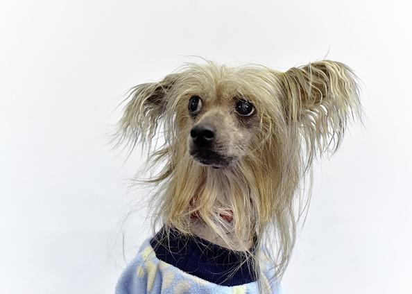 Chrysanthemum「The Westminster Kennel Club Presents AKC Meet The Breeds」:写真・画像(3)[壁紙.com]