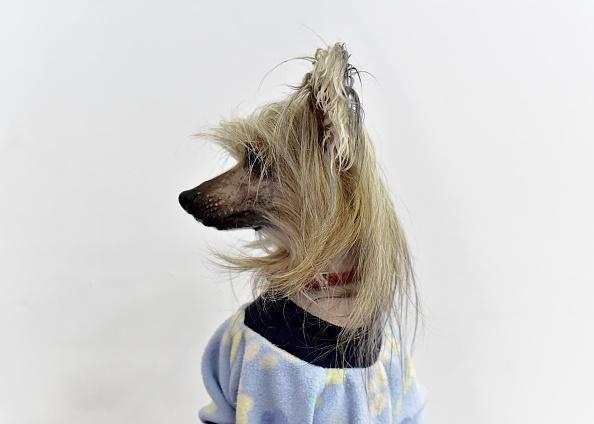 Chrysanthemum「The Westminster Kennel Club Presents AKC Meet The Breeds」:写真・画像(4)[壁紙.com]