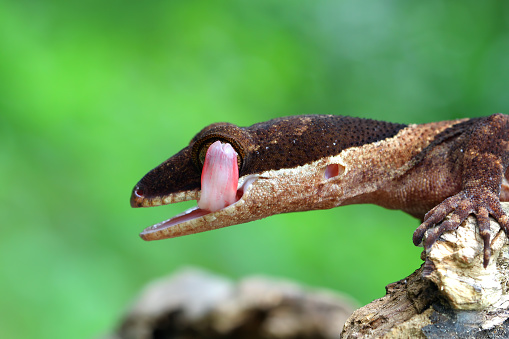 Unrecognizable Person「Portrait of a Gecko licking its lips, Indonesia」:スマホ壁紙(14)