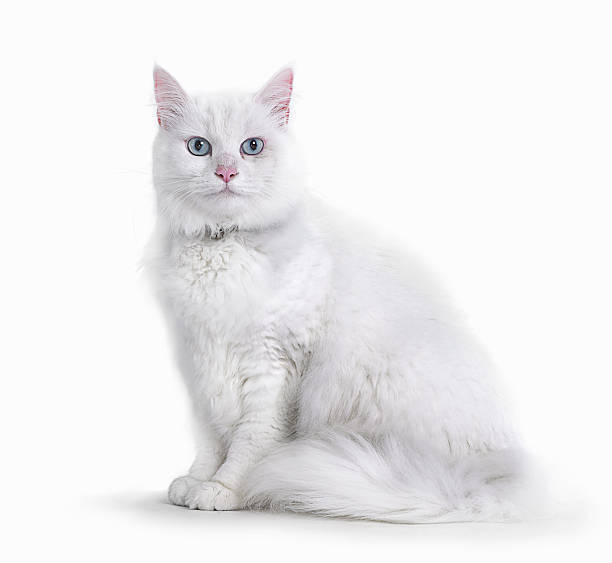 Portrait of White Cat:スマホ壁紙(壁紙.com)