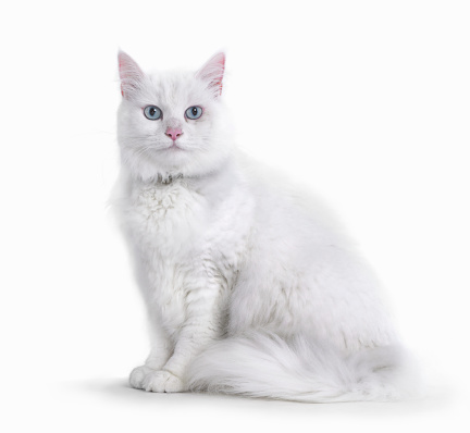 Pets「Portrait of White Cat」:スマホ壁紙(10)