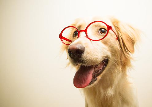 Eyewear「Portrait of a golden retriever dog wearing glasses」:スマホ壁紙(12)