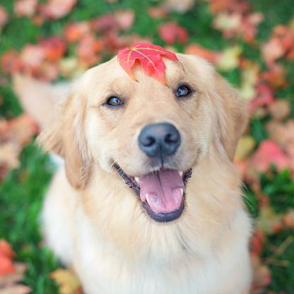 幸福「Portrait of a Golden retriever dog with a maple leaf on its head」:スマホ壁紙(11)