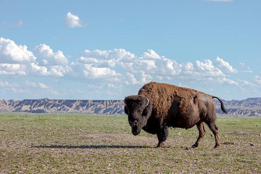 Steeple「Portrait of American bison Bison bison standing in Badlands National Park, South Dakota, United States」:スマホ壁紙(17)